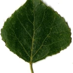 Photographie n°151748 du taxon Populus nigra L.