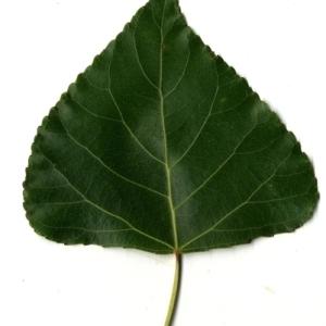 Photographie n°151749 du taxon Populus nigra L.