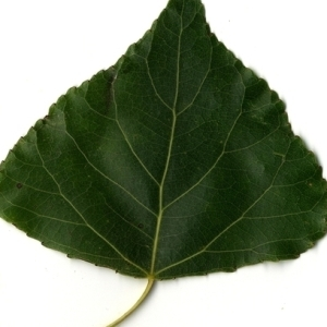 Photographie n°151750 du taxon Populus nigra L.