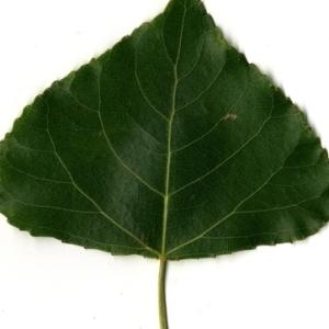 Photographie n°151751 du taxon Populus nigra L.