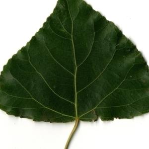 Photographie n°151752 du taxon Populus nigra L.