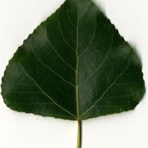 Photographie n°151753 du taxon Populus nigra L.