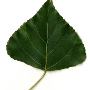 Photographie n°151754 du taxon Populus nigra L.