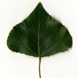 Photographie n°151757 du taxon Populus nigra L.