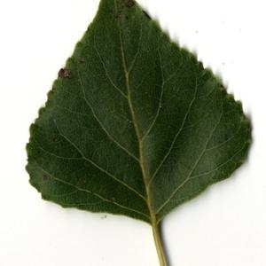 Photographie n°151758 du taxon Populus nigra L.