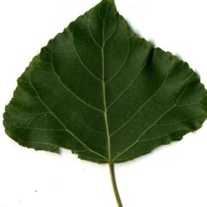 Photographie n°151759 du taxon Populus nigra L.