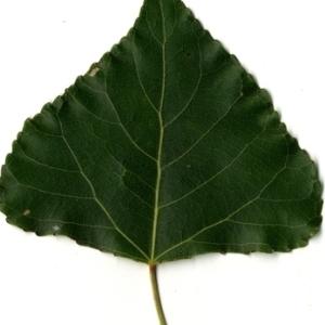 Photographie n°151760 du taxon Populus nigra L.