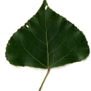 Photographie n°151761 du taxon Populus nigra L.