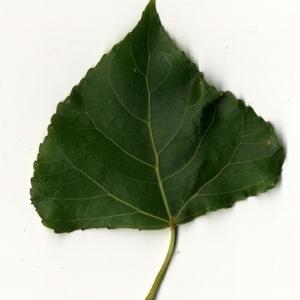 Photographie n°151763 du taxon Populus nigra L.