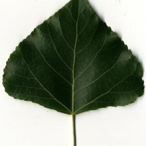 Photographie n°151764 du taxon Populus nigra L.