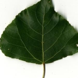 Photographie n°151765 du taxon Populus nigra L.