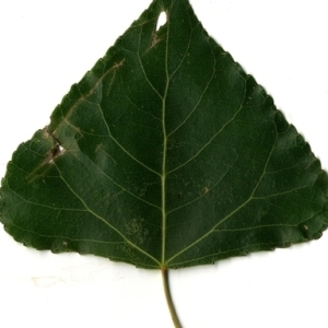 Photographie n°151766 du taxon Populus nigra L.