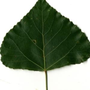 Photographie n°151768 du taxon Populus nigra L.