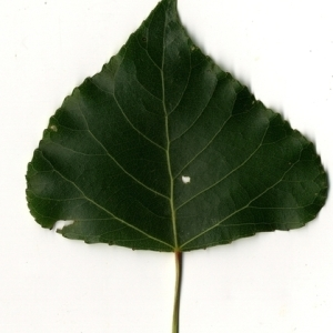 Photographie n°151770 du taxon Populus nigra L.
