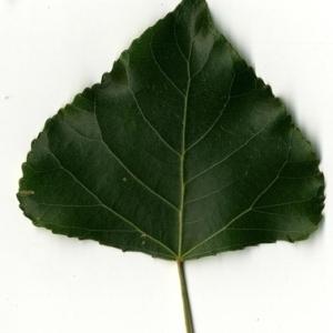 Photographie n°151772 du taxon Populus nigra L.