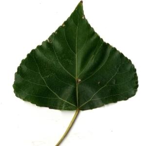 Photographie n°151774 du taxon Populus nigra L.