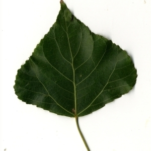 Photographie n°151775 du taxon Populus nigra L.