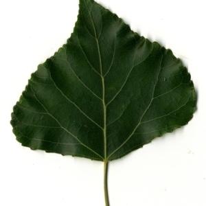 Photographie n°151776 du taxon Populus nigra L.