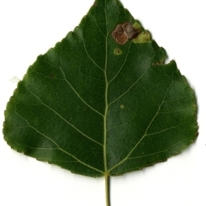 Photographie n°151777 du taxon Populus nigra L.