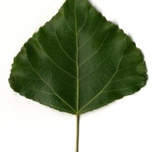 Photographie n°151779 du taxon Populus nigra L.