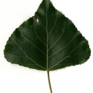 Photographie n°151781 du taxon Populus nigra L.