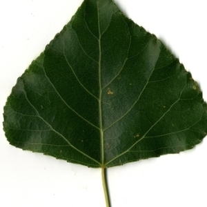Photographie n°151783 du taxon Populus nigra L.
