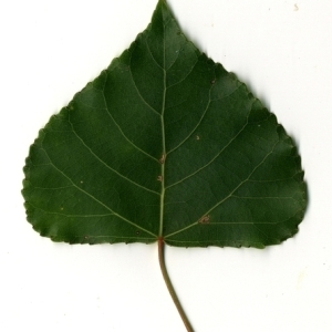 Photographie n°151784 du taxon Populus nigra L.