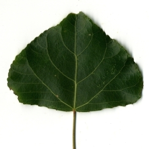 Photographie n°151785 du taxon Populus nigra L.