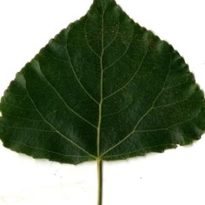 Photographie n°151786 du taxon Populus nigra L.
