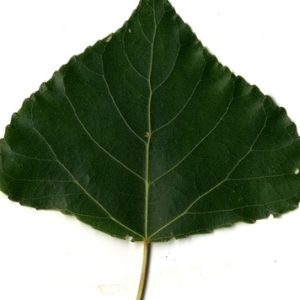 Photographie n°151787 du taxon Populus nigra L.