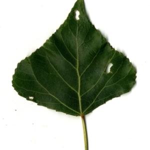 Photographie n°151797 du taxon Populus nigra L.