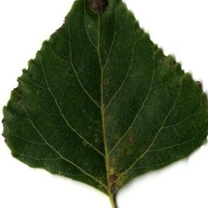 Photographie n°151798 du taxon Populus nigra L.