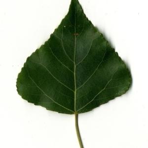 Photographie n°151800 du taxon Populus nigra L.
