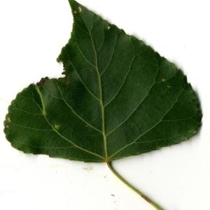 Photographie n°151801 du taxon Populus nigra L.