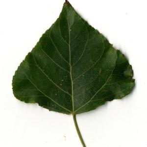 Photographie n°151802 du taxon Populus nigra L.