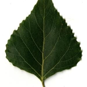 Photographie n°151804 du taxon Populus nigra L.
