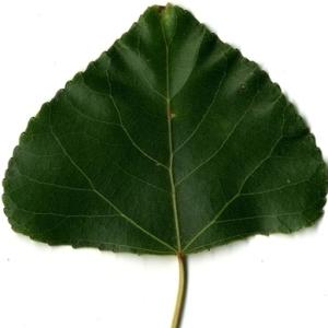Photographie n°151805 du taxon Populus nigra L.