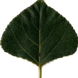 Photographie n°151806 du taxon Populus nigra L.