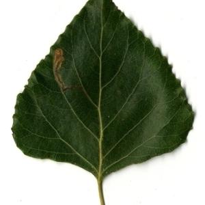 Photographie n°151808 du taxon Populus nigra L.