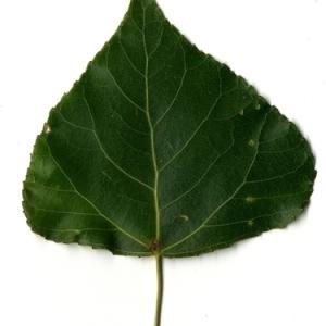 Photographie n°151810 du taxon Populus nigra L.