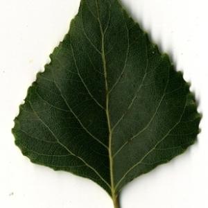 Photographie n°151812 du taxon Populus nigra L.