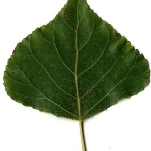 Photographie n°151814 du taxon Populus nigra L.