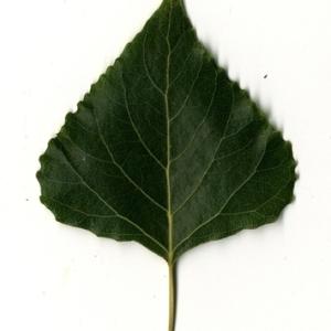 Photographie n°151815 du taxon Populus nigra L.