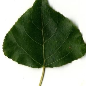 Photographie n°151816 du taxon Populus nigra L.