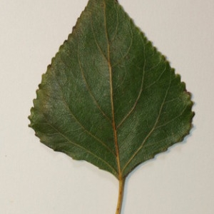Photographie n°151817 du taxon Populus nigra L.