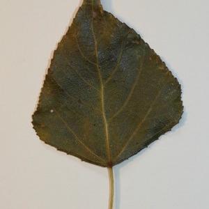 Photographie n°151818 du taxon Populus nigra L.