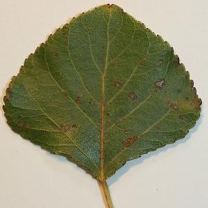 Photographie n°151819 du taxon Populus nigra L.