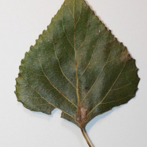 Photographie n°151820 du taxon Populus nigra L.