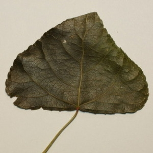 Photographie n°151821 du taxon Populus nigra L.