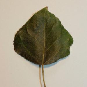 Photographie n°151822 du taxon Populus nigra L.